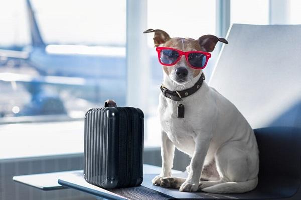 Cachorro branco de óculos de sol e bagagem em um aeroporto